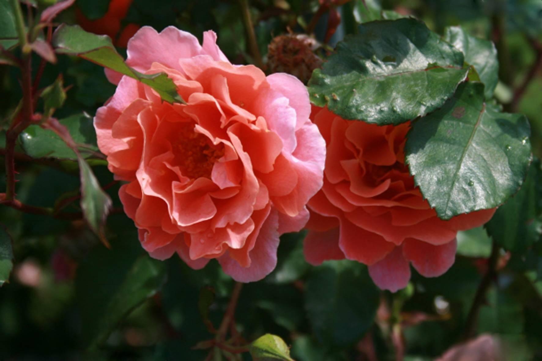 Роза сорта али баба