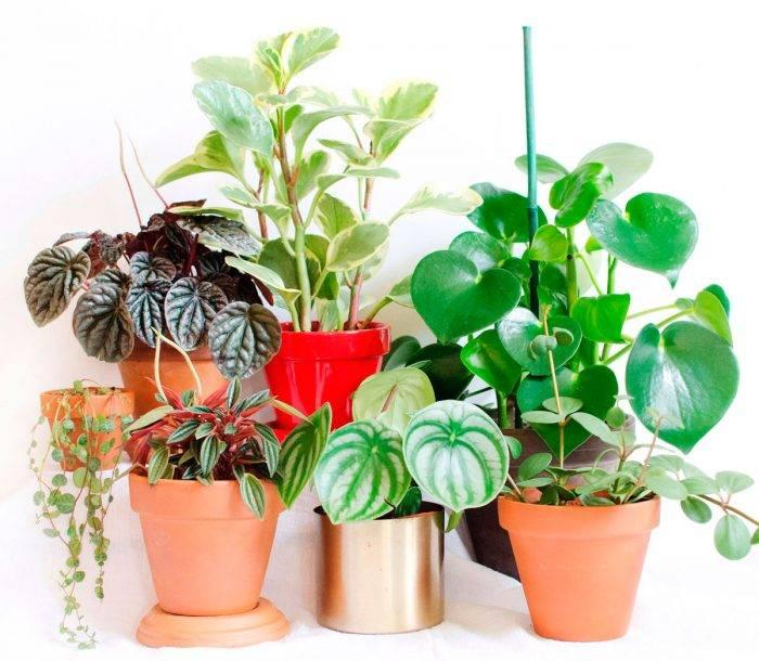 Пеперомия домашняя - фото, уход, размножение растения, болезни