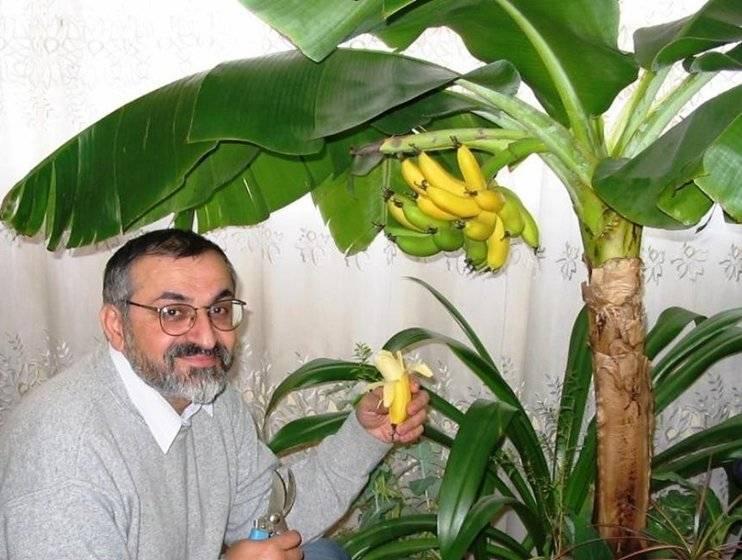 Банан комнатный (банановая пальма) — уход в домашних условиях