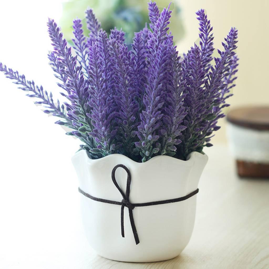 Можно ли выращивать лаванду как комнатное растение?