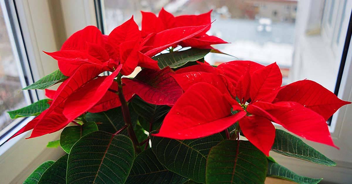 Цветок цветет красными листьями название