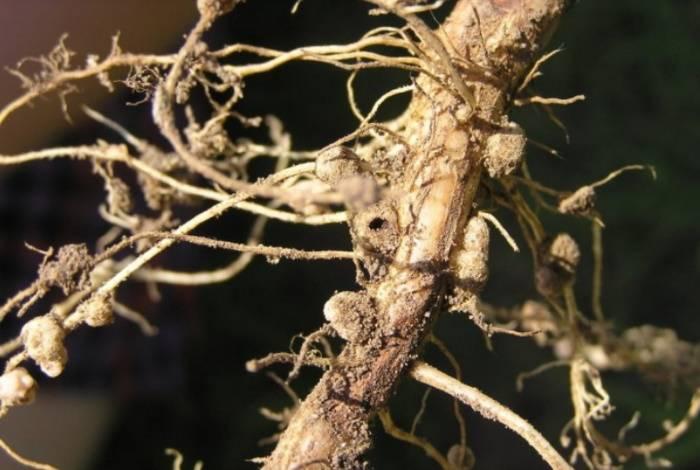 Люпин как сидерат — когда сеять и когда закапывать