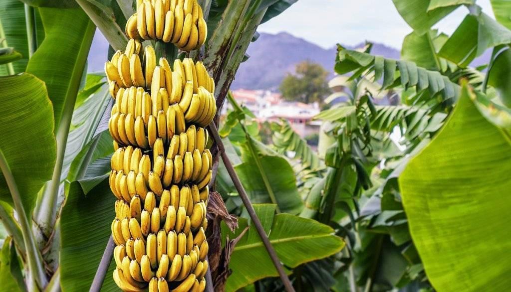 Банановое дерево комнатное
