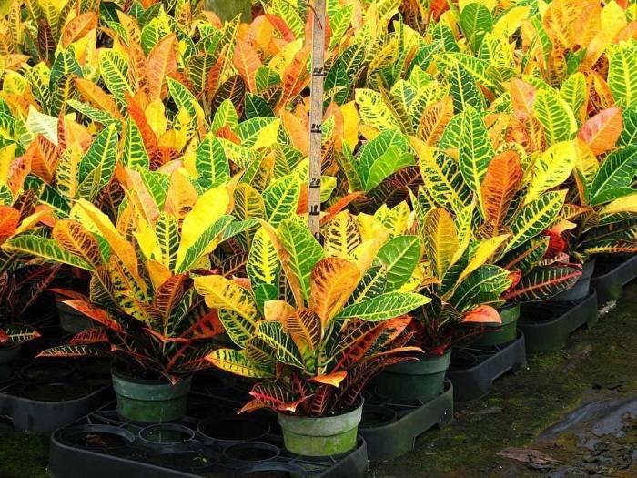 Кротон голд даст уход в домашних условиях. Тропический гость: выращиваем кротон в домашних условиях. Размножение с помощь воздушных отводок