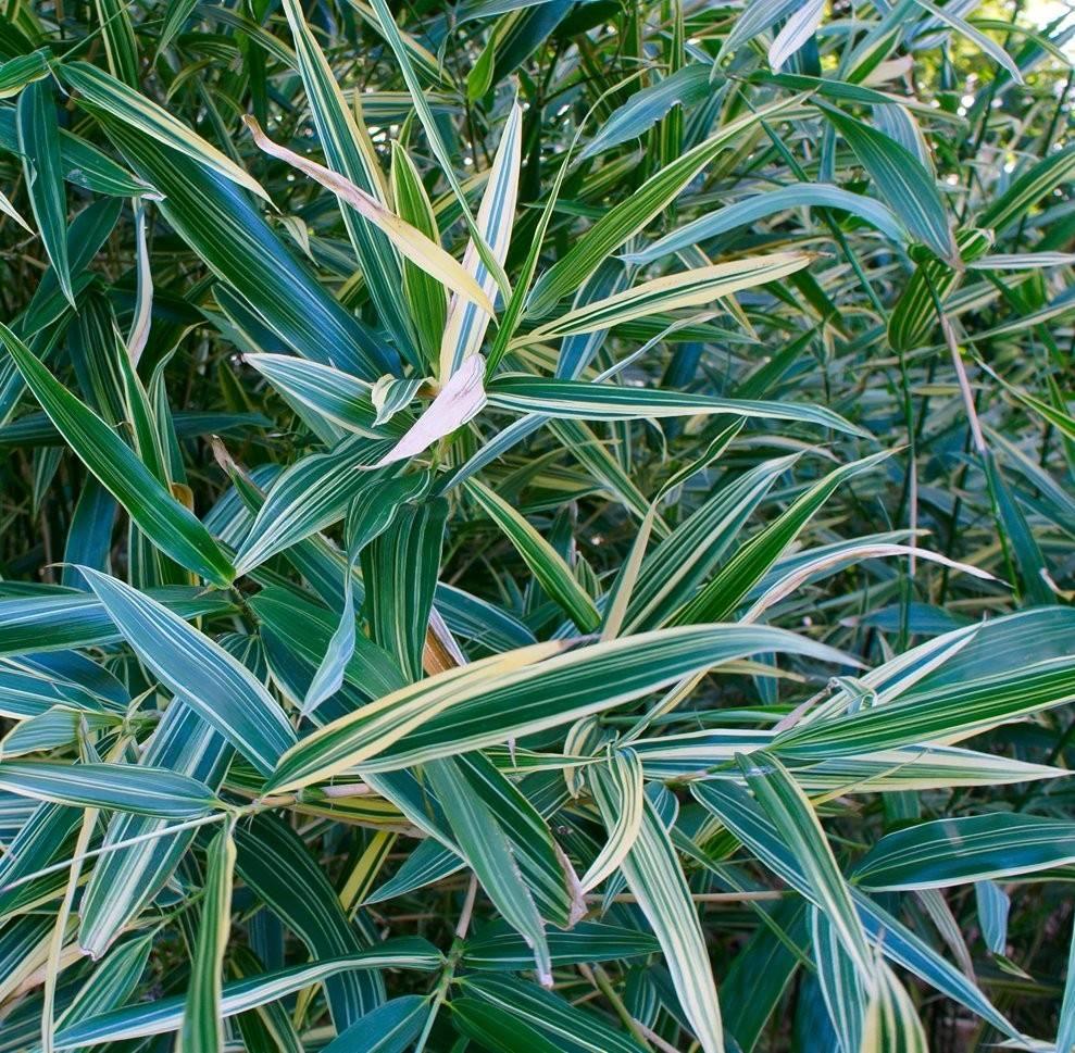 Комнатное растение бамбук как ухаживать