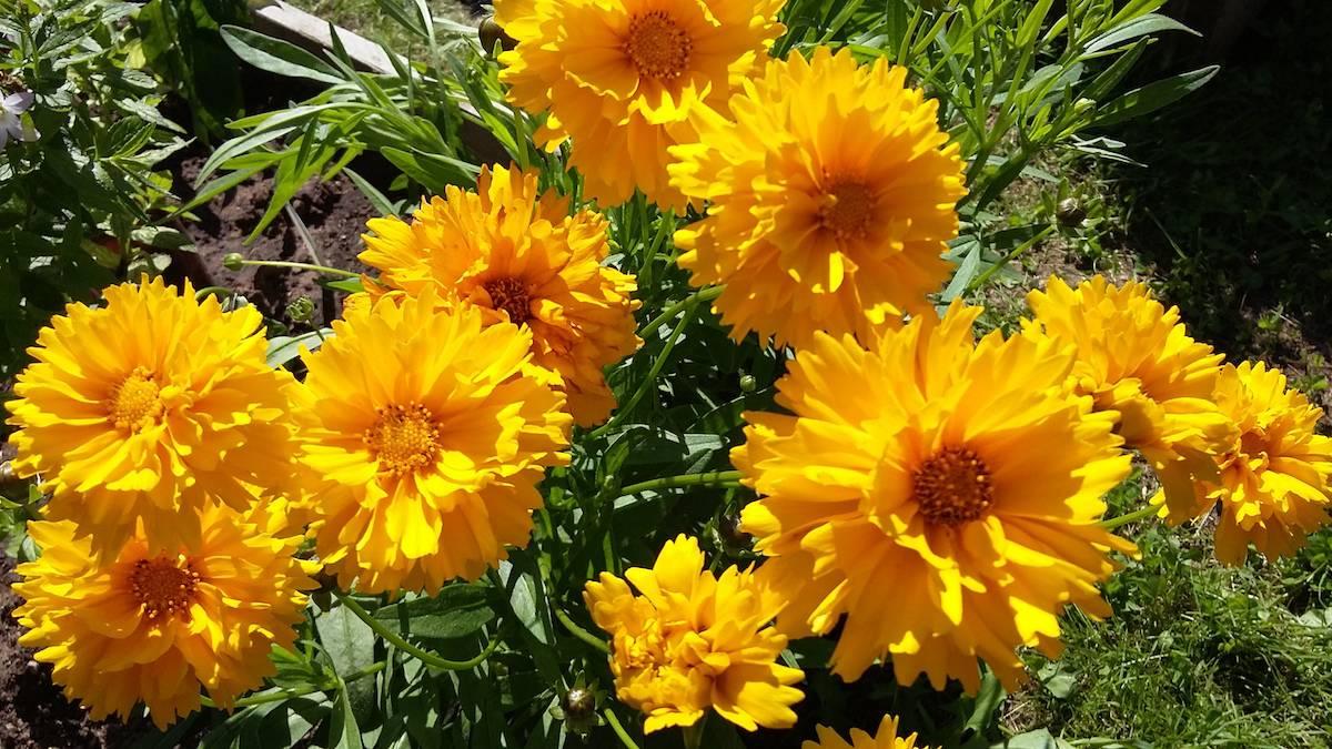 Цветок Кореопсис: разновидности, посадка, уход