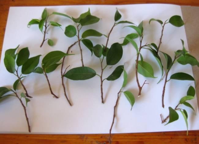 Как размножить фикус крупнолистный в домашних условиях: основные способы