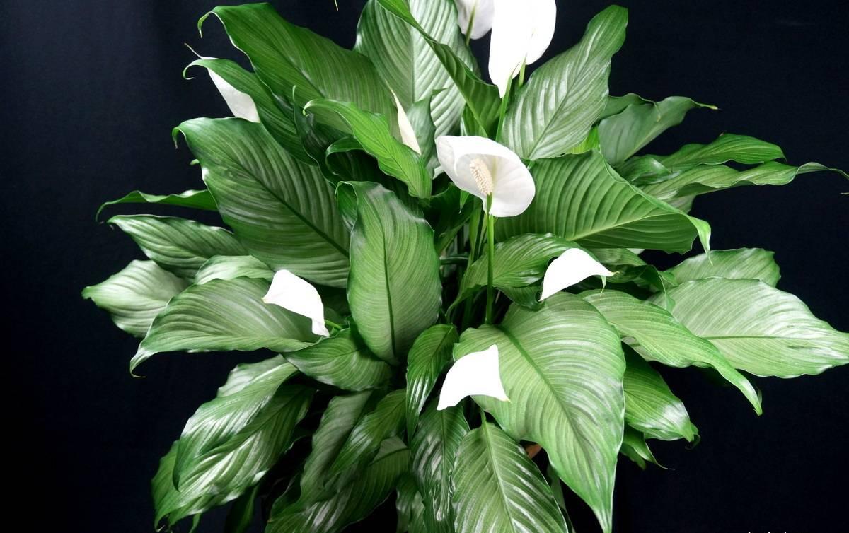 Виды комнатных цветов любви для семейного благополучия и счастья в доме