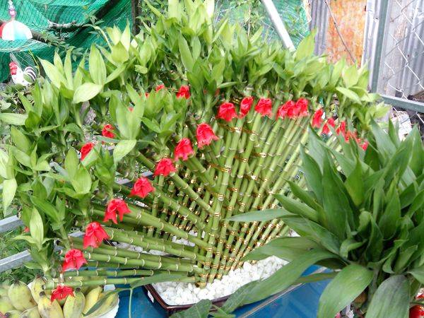 Бамбук как комнатное растение: выращивание, размножение, пересадка