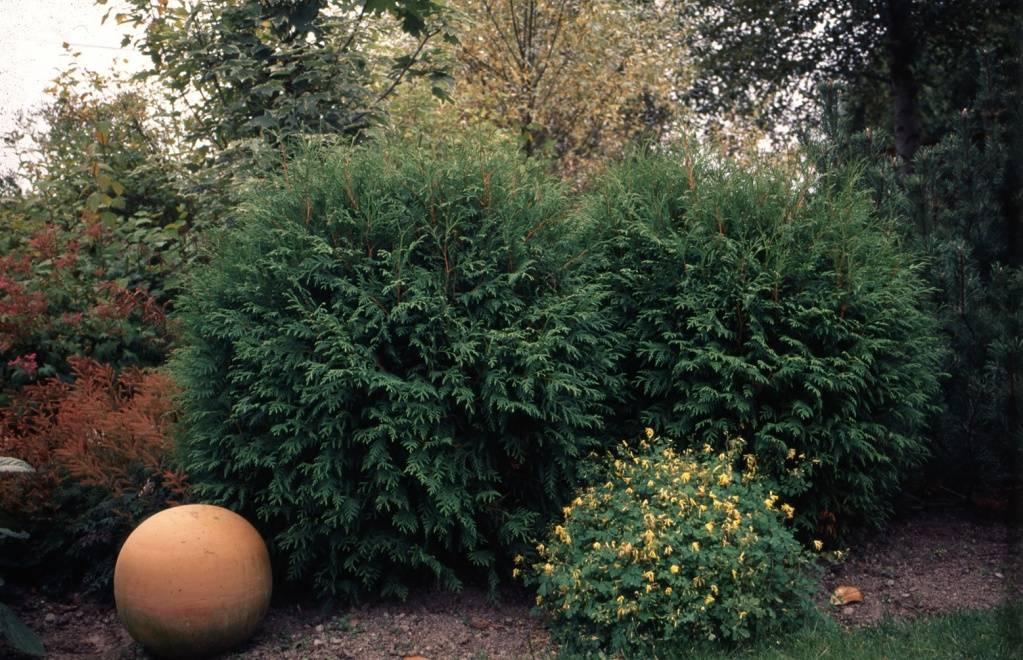Туя вудварди размеры взрослого растения