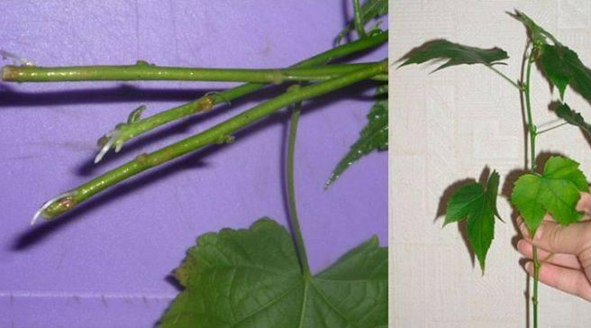 Как ухаживать за комнатным абутилоном: выращивание из семян, желтеют и опадаю листья
