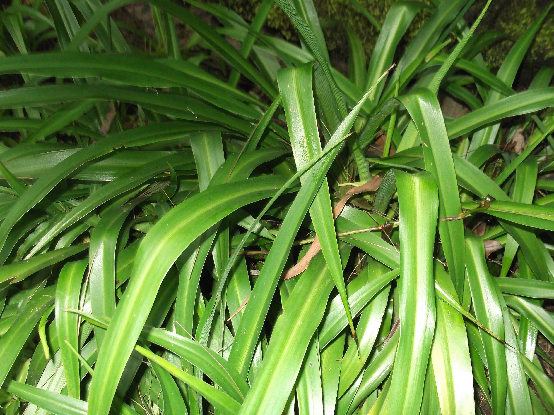 Хлорофитум размножение розетками