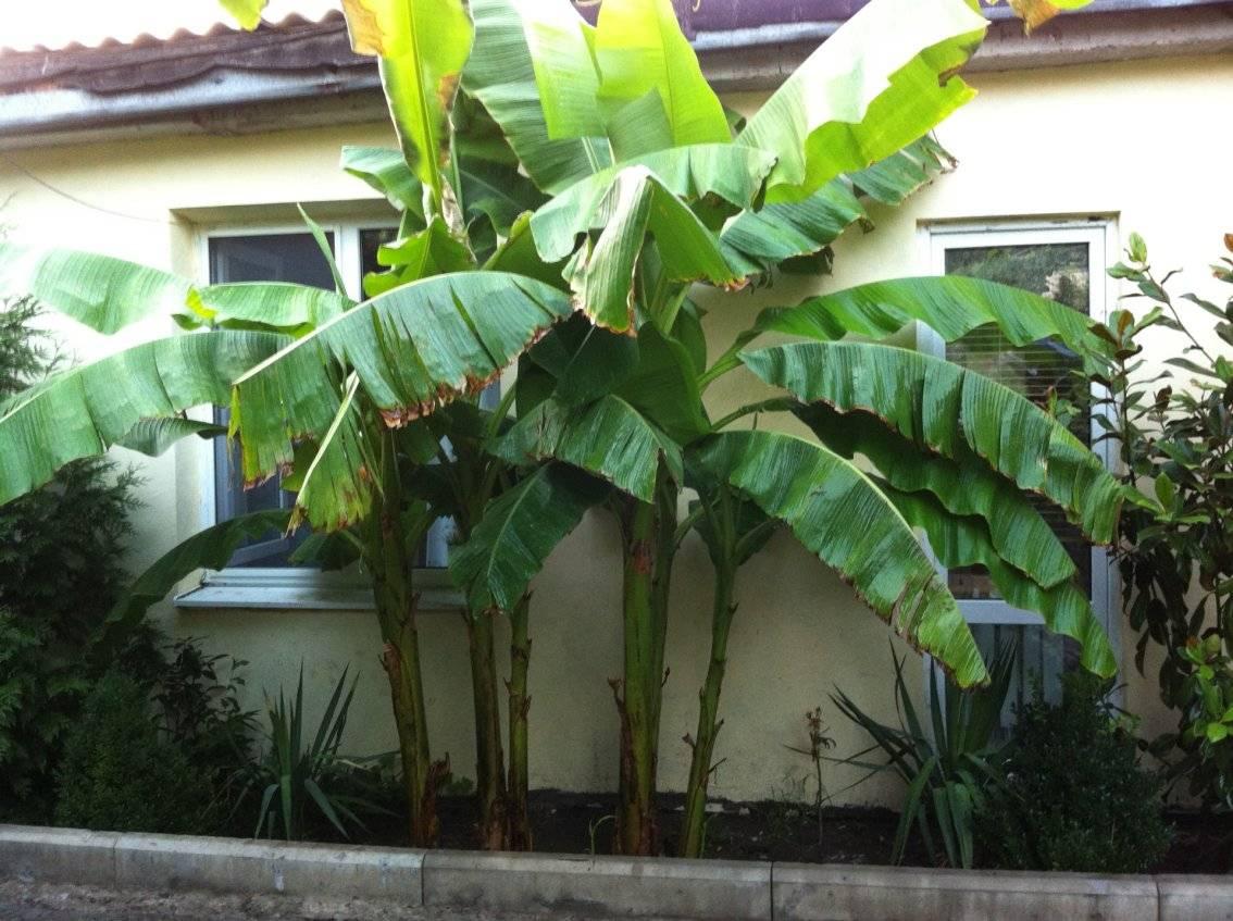 банановое дерево фото комнатное