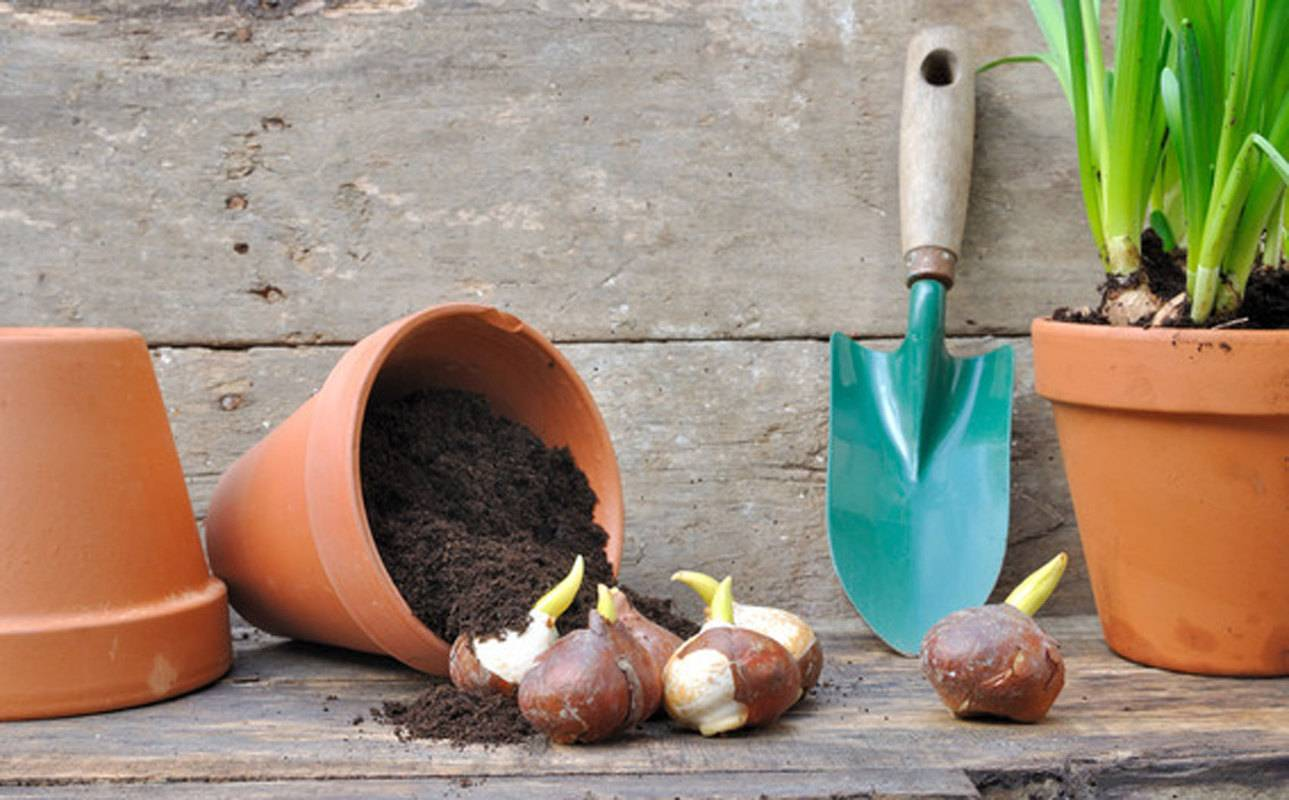 Как посадить выращивать и ухаживать за гиацинтом в домашних условиях в горшке
