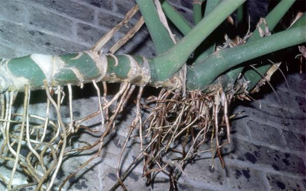 Монстера — выращивание и уход в домашних условиях