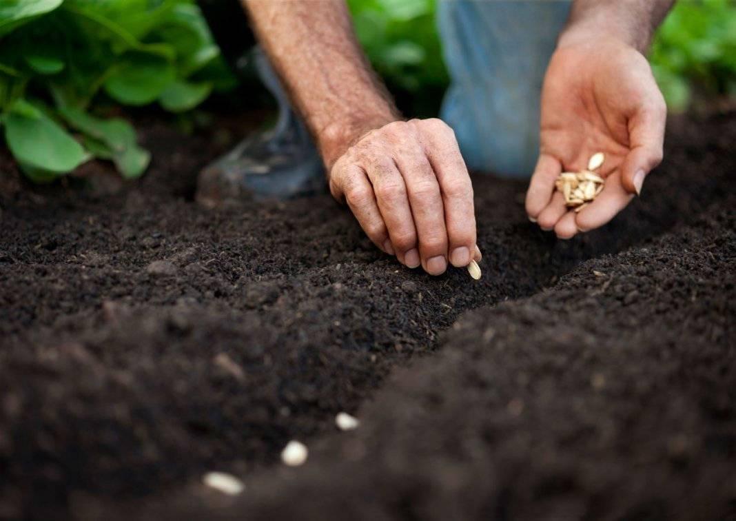 Посадка семян лаванды на рассаду