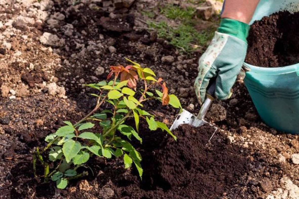 Роза Айсберг — описание, правила выращивания и ухода