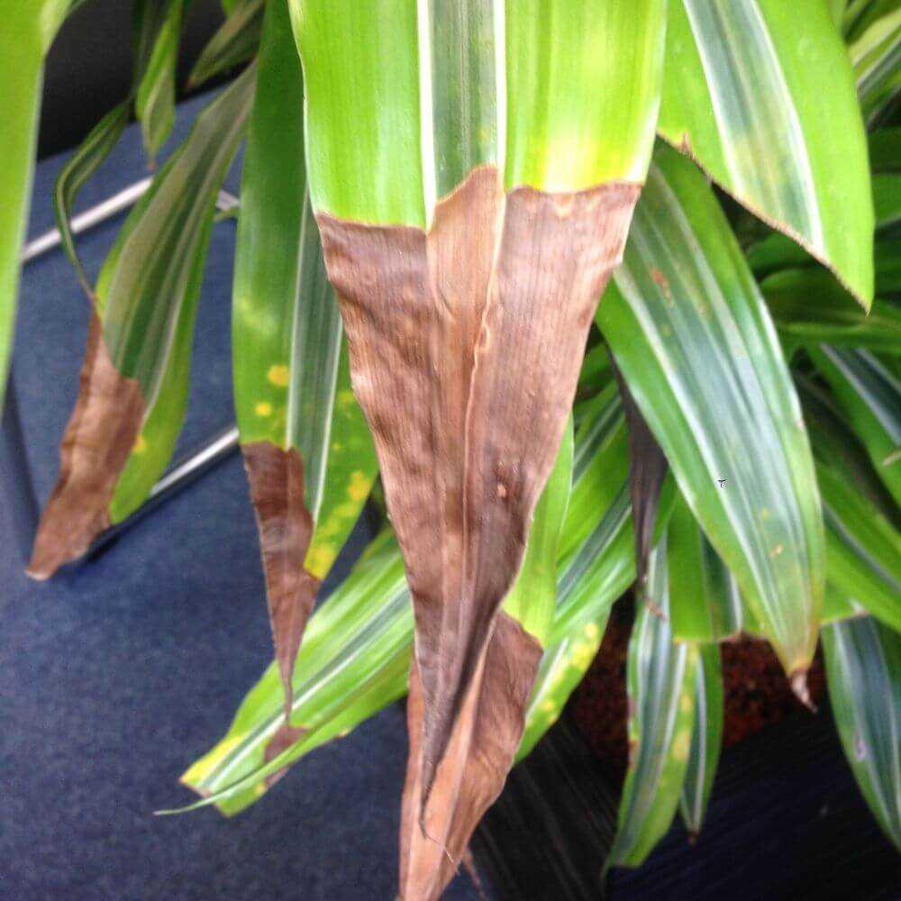 Если сохнут кончики листьев комнатных растений
