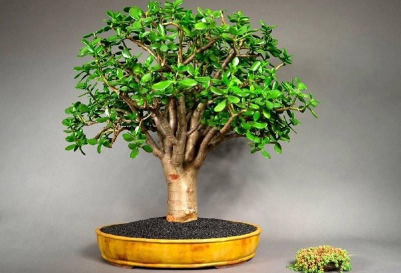 Как посадить Денежное дерево для привлечения денег: посадка и пересадка Толстянки по Фэншуй для богатства