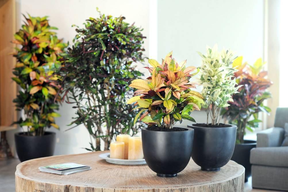 Как посадить кротон отростком