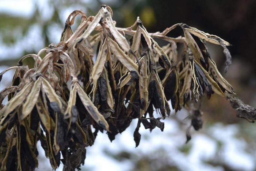 Когда и как размножить хосту делением куста