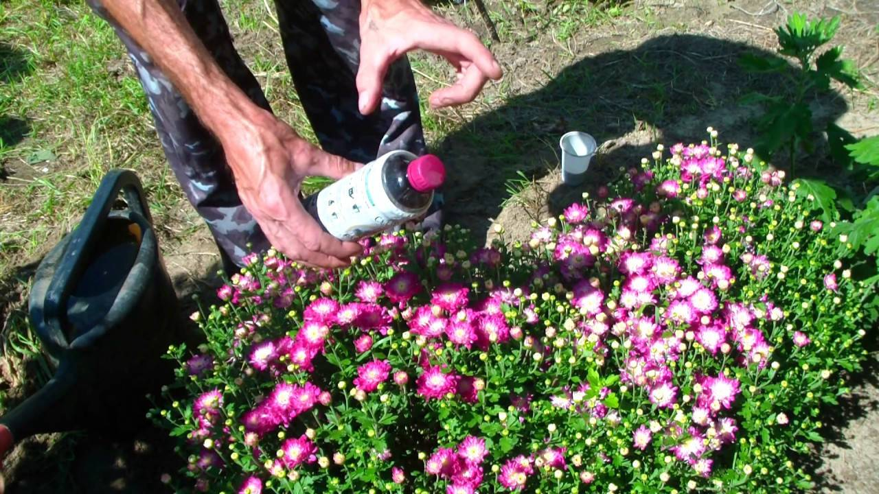 Как высадить хризантемы в открытый грунт