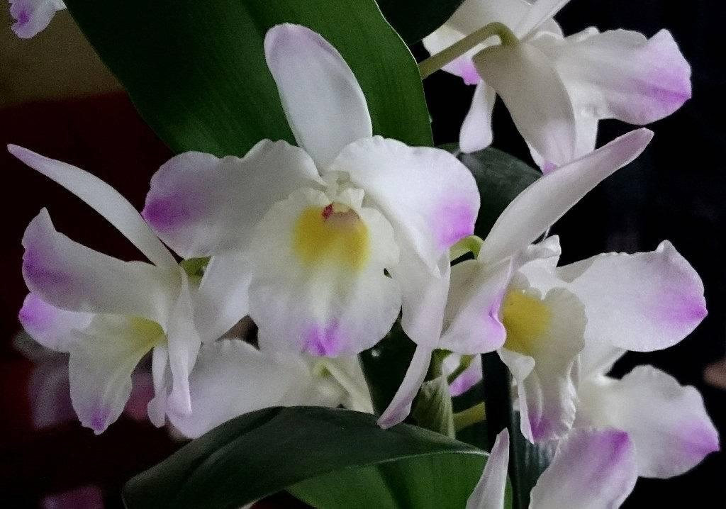 Как размножать орхидеи в домашних условиях