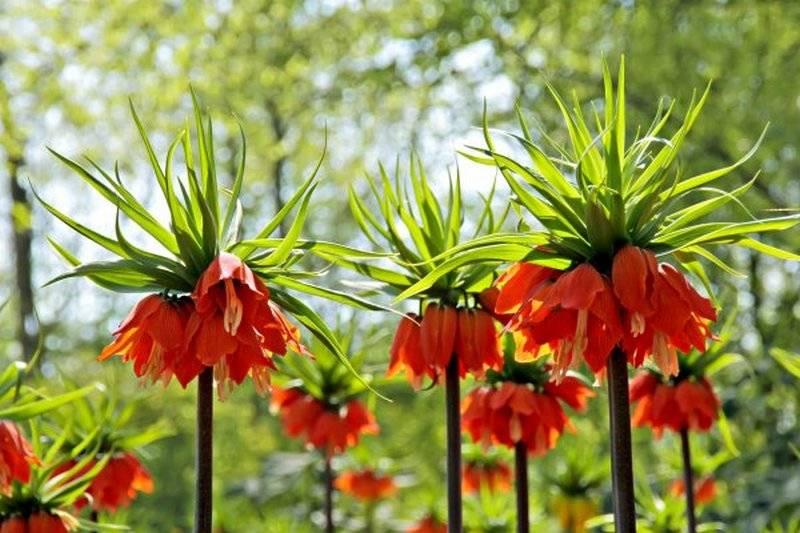Цветы рябчики описание виды посадка уход