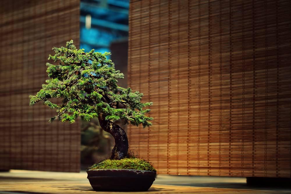 Дерево бонсай как ухаживать дома
