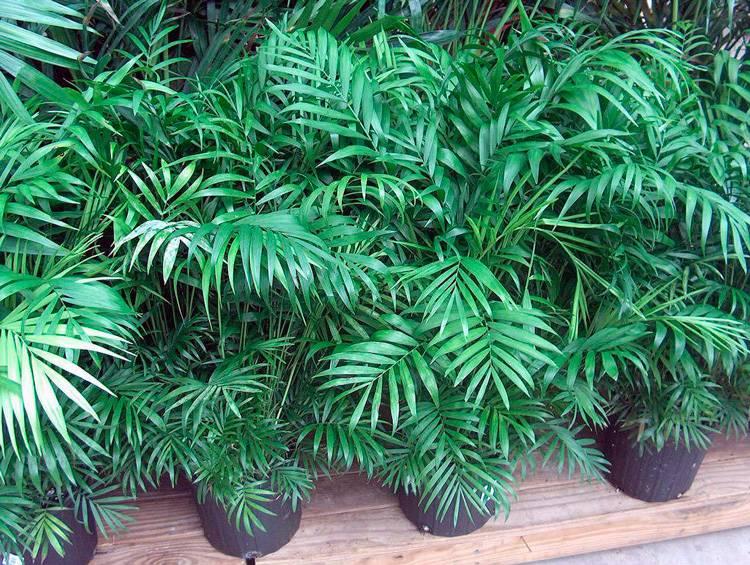 Цветок Хамедорея Элеганс — выращивание и уход