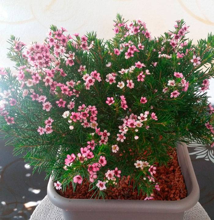 Хамелациум елка с яблоневыми цветками