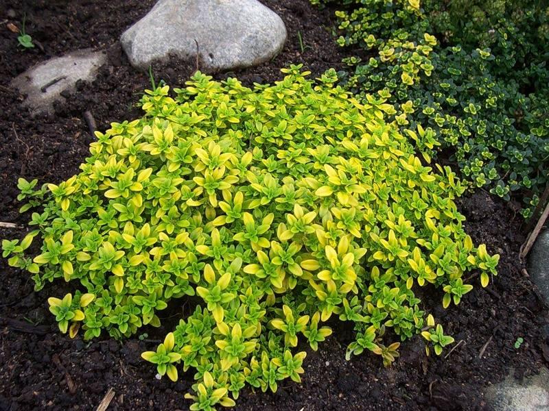 Тимьян лимонный посадка. Тимьян лимонный посадка и уход в открытом грунте