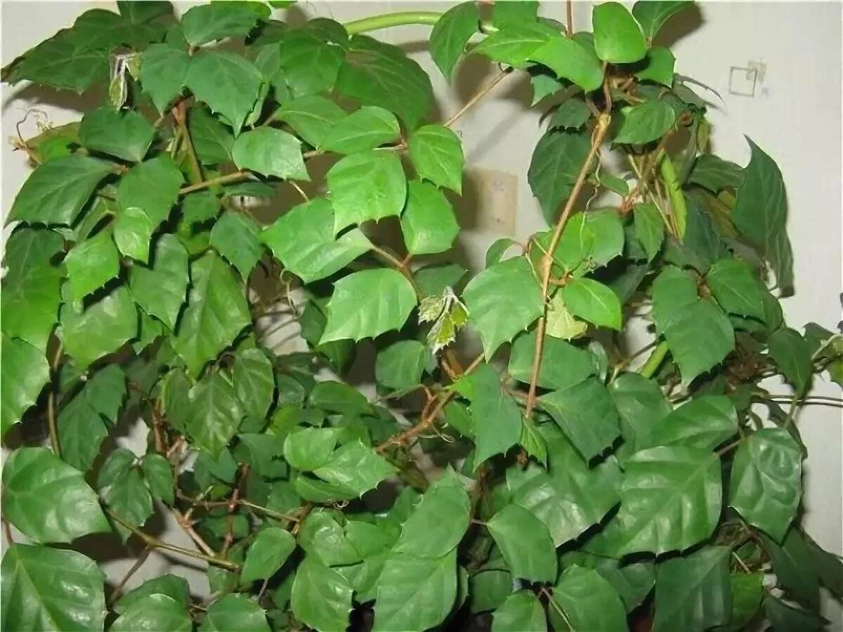 Циссус домашний - фото, уход, размножение комнатного растения, болезни
