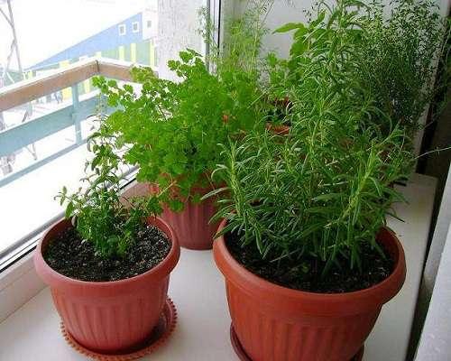 Розмарин посадка семенами в домашних условиях