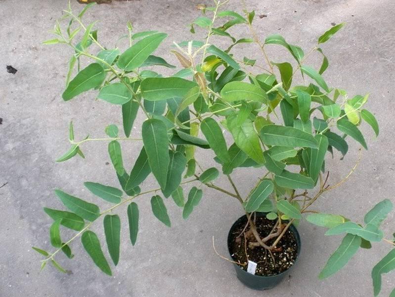 Эвкалипт растение домашнее