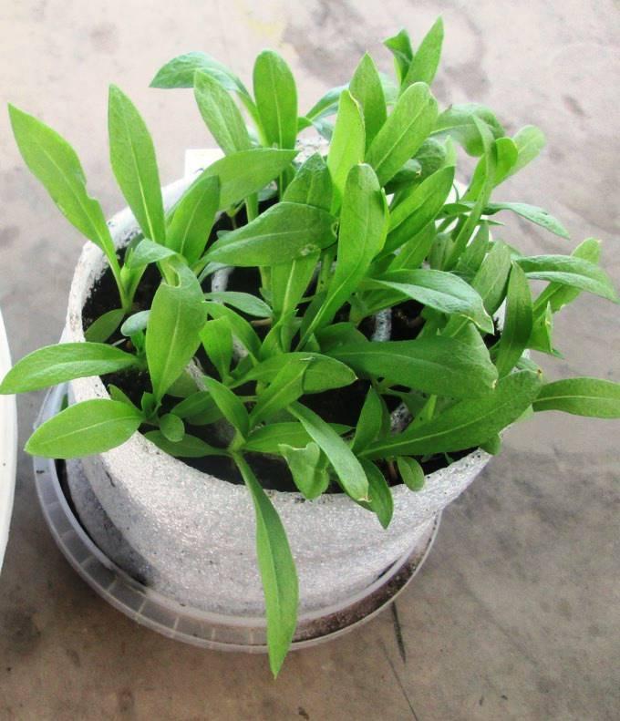 Как и когда сажать флоксы на рассаду: нюансы посева однолетних и многолетних видов весной и осенью