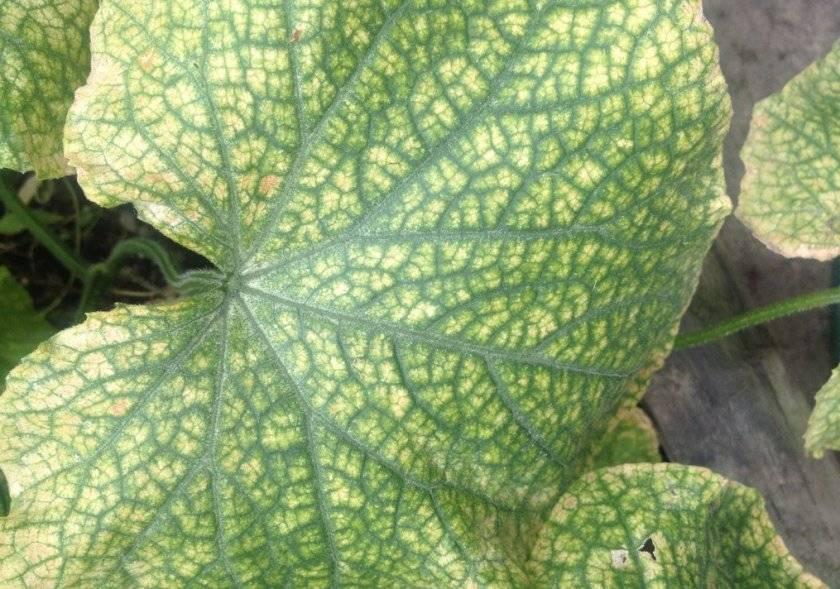 Болезни бегонии и вредители  как лечить растение