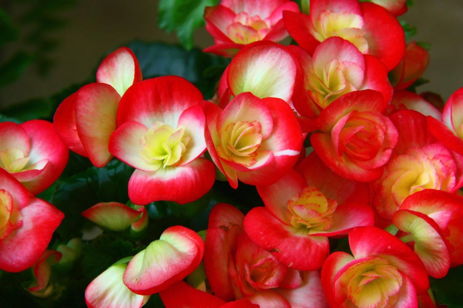 Бегония вечноцветущая (33 фото): размножение, уход в домашних условиях, как вырастить махровую из семян, черенками