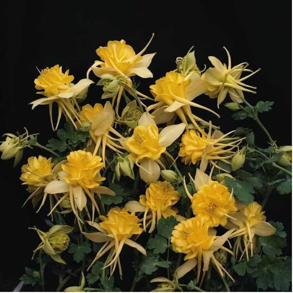Цветы аквилегия, водосбор или водосборник: махровая, гибридная, обыкновенная