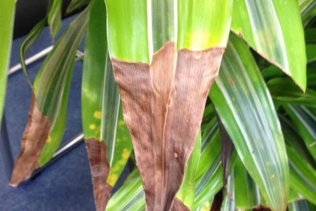 Выращивание Драцены Маргината дома: как посадить, ухаживать, удобрять, размножать