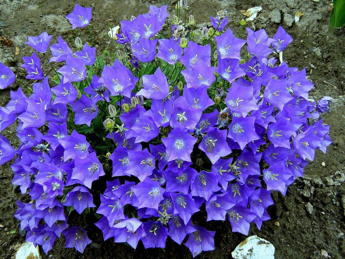 Кампанула садовая многолетняя посадка и уход