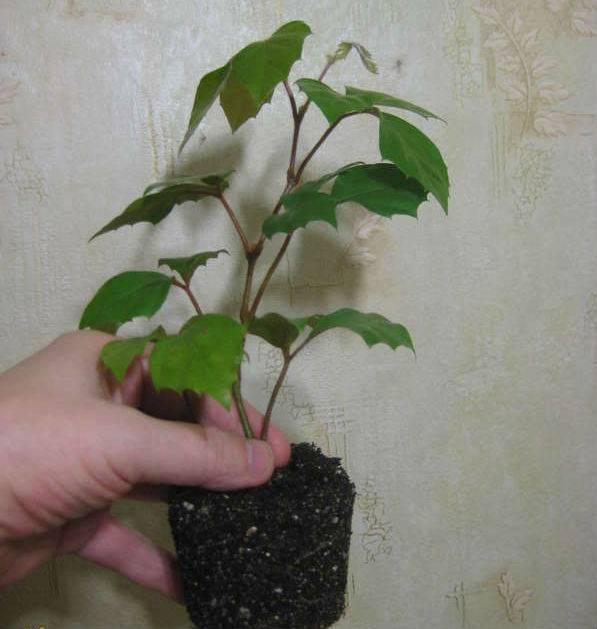 Комнатное растение с листьями как у березы