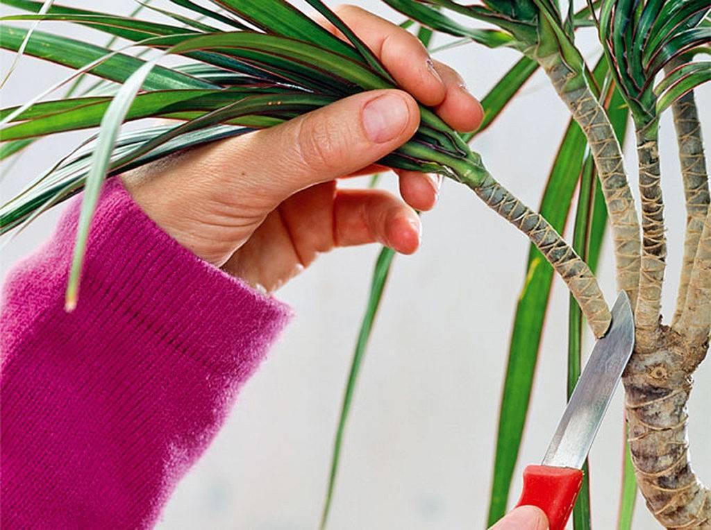 Как размножить драцену черенками, семенами и отводками, видео
