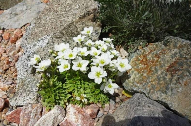 Камнеломка многолетняя: виды и сорта