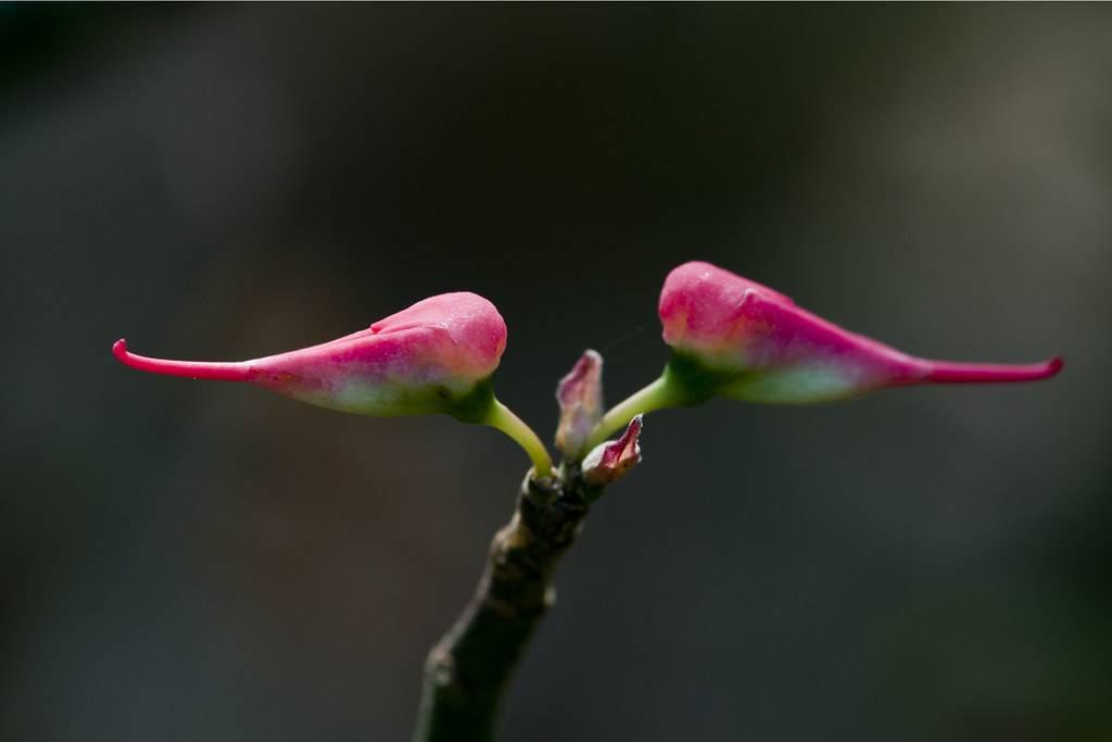 Педилантус — особенности ухода: размножение и своевременная пересадка растения