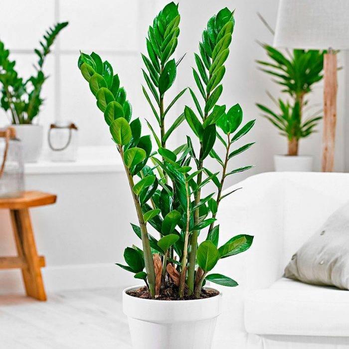 Растение замиокулькас как ухаживать