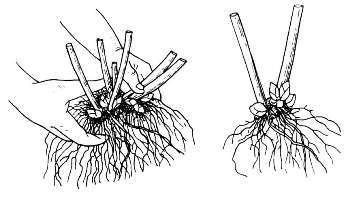 Флокс метельчатый посадка и уход в открытом грунте