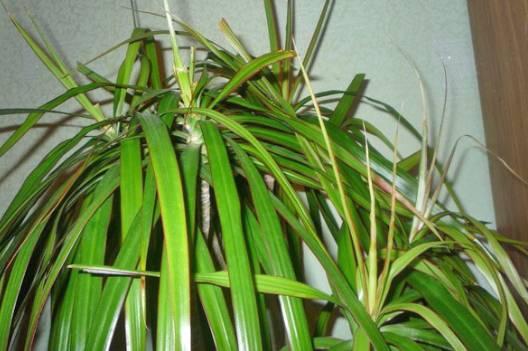 Как прищипывать драцену - Мир ботаники