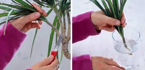 Плетение фикуса Бенджамина: как заплести его в косичку в домашних условиях? Как пошагово выполнить круговое плетение стволов?