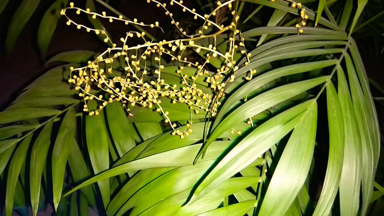 Пальма комнатная хамедорея уход